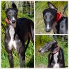 Recently Adopted Greyhounds